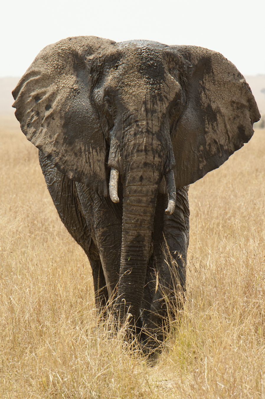 An elephant gives us the full Monte