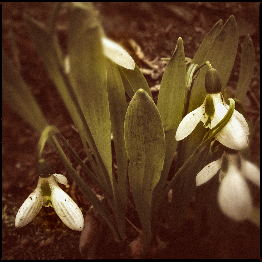 Snow drop